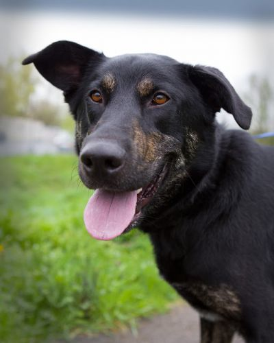 """GRIMM"" Big Dog Lovers Delight - handsome black/tan mix"