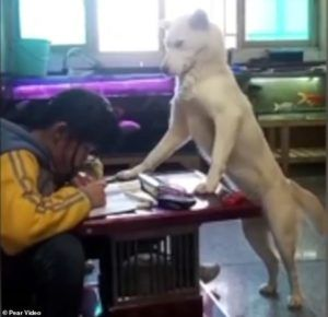 Dad Trains Family Dog to Supervise His Sister's Homework
