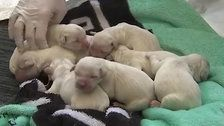 Service Dog Gives Birth To 8 Puppies At Tampa Airport