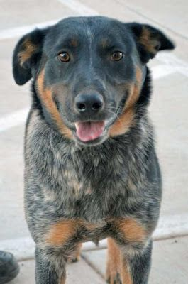 Adoption Monday: Max, Australian Cattle Dog / Blue Heeler, Page, AZ
