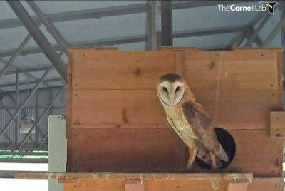 Texas Barn Owls: 2017 Update