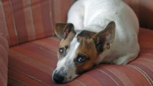 Choosing The Best Joint Supplement for a Jack Russell