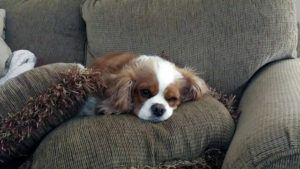3 Things Your Cavalier King Charles Loves More Than Anything