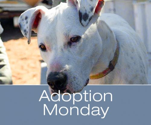 Adoption Monday: Zamboni, Great Dane & Staffordshire Bull Terrier Mix, Page, AZ