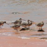 Breeding plumage in Bar-tailed Godwits in February