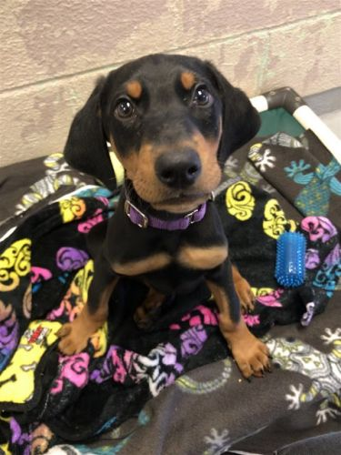 """""""TYSON"""" adorable Doberman mix PUPPY - natural ears, docked tail"""