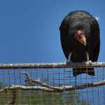 Bird Litigation: Hindsight and the California Condor