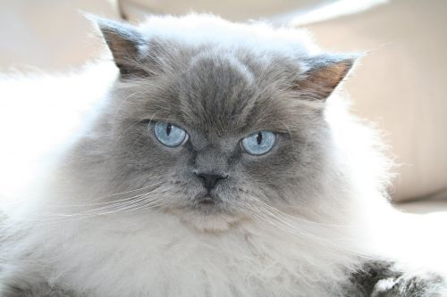 Breed Spotlight: Himalayan Cat | Winslow Animal Hospital Dog & Cat