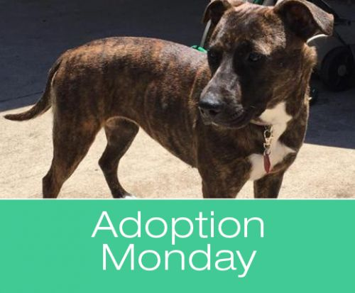 Adoption Monday: Meryl, Plott Hound Mix, Killeen, TX