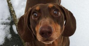 Dachshund Sprains Tail Wagging It Too Much During Parent's Quarantine