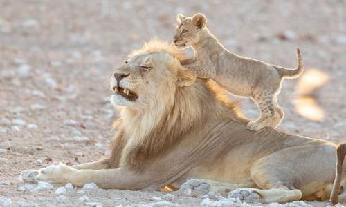 Mischievous lion cub wrestles with father, jumping on his back and swiping at his face | Daily
