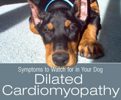 Symptoms to Watch for in Your Dog: What Would Dilated Cardiomyopathy Look Like in Your Dog?