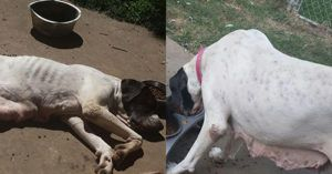 Skinny, Pregnant Dog Surrendered by Owner Lives to Care for Her Pups