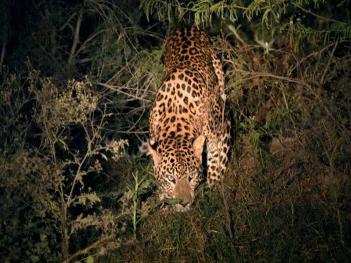 Man-eater leopard leaves villagers scared