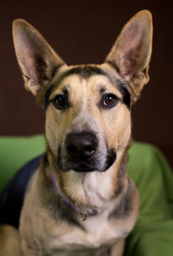 """JONES"" cool German Shepherd mix"