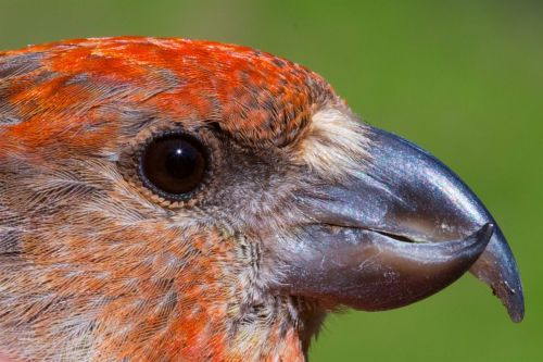 Gallery: Meet the New Cassia Crossbill
