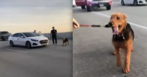 Drivers Work Together To Stop Traffic And Save Dog Running On Busy Highway