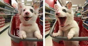 Corgi Mix Puppy Experiences Her First Trip To Target & The World Falls In Love