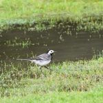 London Heathrow Airport versus the White Wagtails