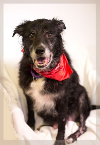 """BUDDY"" charming senior Border Collie mix"