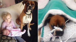 Dog Gets Bitten Protecting Toddler From Venomous Snake & Donations Pour In To Save His Life