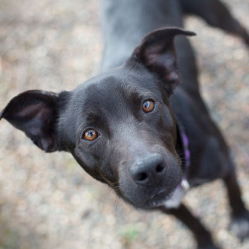 """""""GILBERT"""" young Lab mix"""