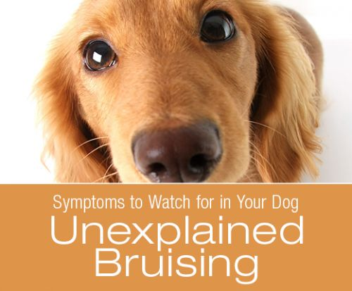 Symptoms to Watch for in Your Dog: Unexplained Bruising
