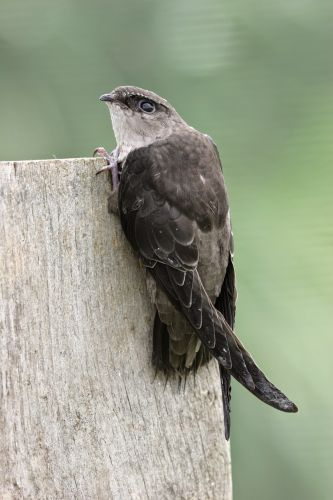 Departures: The Chimney Swift for one