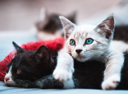 Glucosamine Supplements for Cats