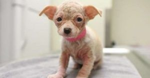 A Tiny Hairless Puppy Shows Up At The Shelter With A Need To Cuddle
