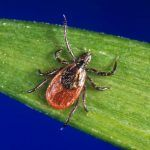 Coronavirus cabin fever? Before stepping outside for that walk, remember it's tick season