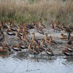 The Whistling Ducks of Anahuac National Wildlife Refuge