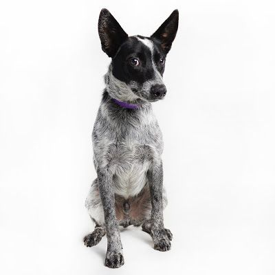 Adoption Monday: Lee, Australian Cattle Dog / Blue Heeler, Burbank, CA