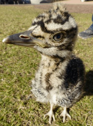 Happy Kori Bustard Day!