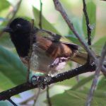 I'm not seeing spots: Towhee issues