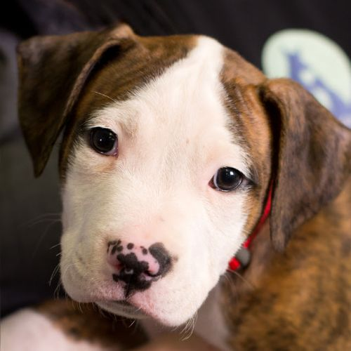 """BRONCO"" adorable Baby Pitbull"