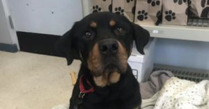 Autumn the Hopeful Rottweiler is Looking for a Loving Family to Spend Her Last Days With