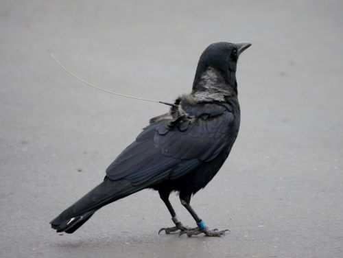 Partial Migration Helps Explain Where Crows Go in Winter