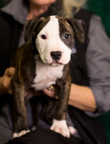 """""""SHELBY"""" adorable baby Pitbull"""