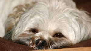 Choosing The Best Joint Supplement for a Lhasa Apso