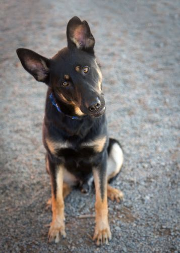 """SHEP"" sensitive handsome German Shepherd mix"