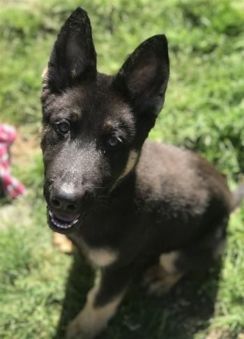 """JOE M"" German Shepherd puppy"