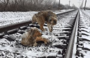Dog Stays On Snowy Train Tracks To Care For Injured Friend Until Help Arrives