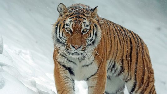 New high-altitude tiger population spotted in Northeast India