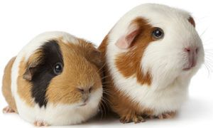 """March is """"Adopt a Rescued Guinea Pig Month"""""""