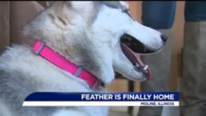 Facebook Message From A Stranger Returns Stolen Husky To Rightful Home