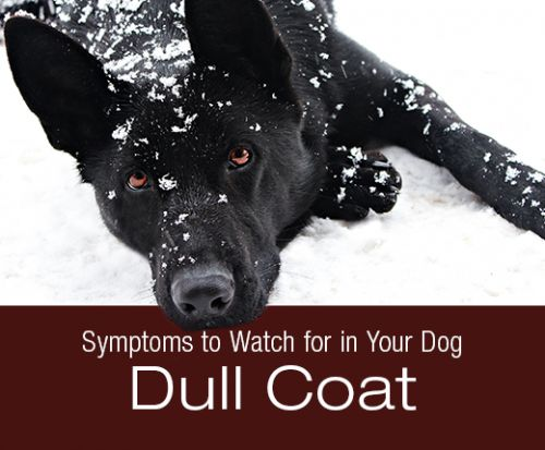 Symptoms to Watch for in your Dog: Dull, Dry Coat