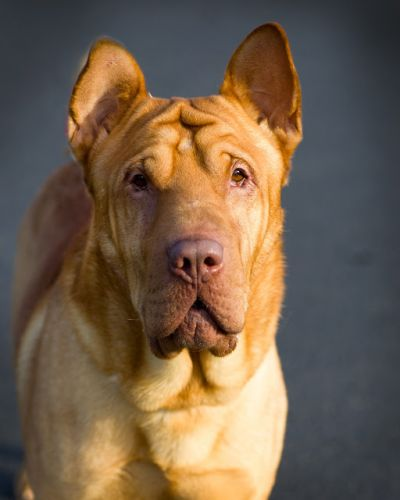 """GONZO"" friendly goofy Shar Pei mix"
