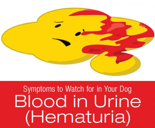Symptoms to Watch for in Your Dog: Blood in Urine