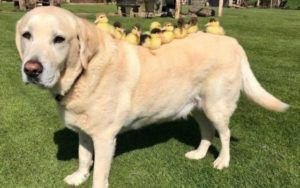 Senior Pooch Becomes Foster Dad To 9 Orphaned Ducklings